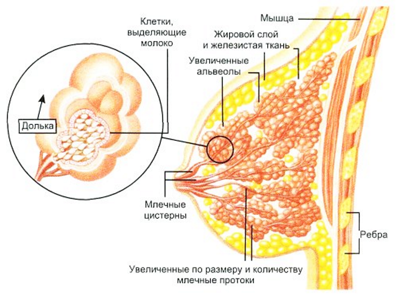 молочные железы