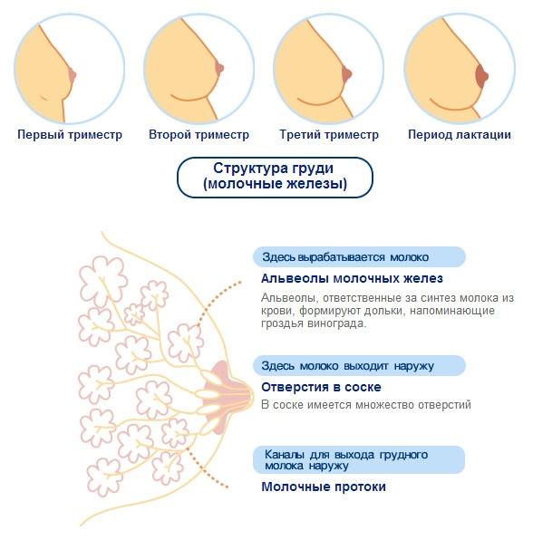 Изменения груди во время беременности