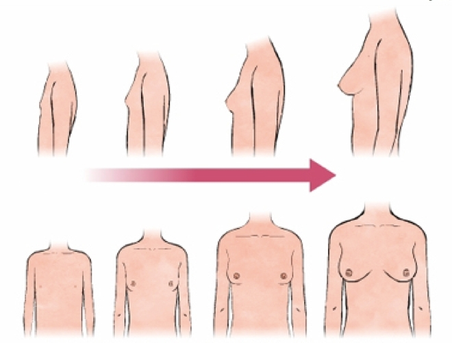 Как растет грудь у девочек
