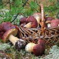можно ли кормящей маме грибы