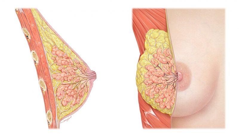 железистая ткань